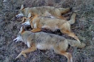 Kansas Predator Hunts