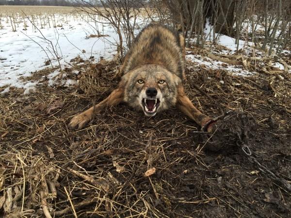 Kansas Predator Hunt