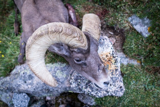 Guided New Mexico Bighorn Sheep Hunt